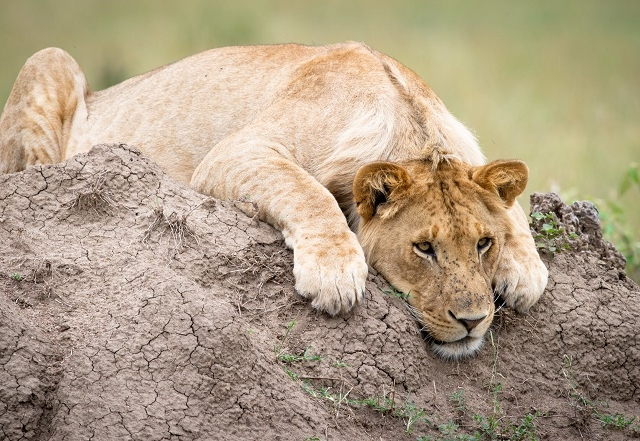6 Days 5 Nights Amboseli, Lake Naivasha And Masai Mara Photos
