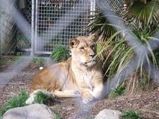 Lioness @ Wellington Zoo NZ
