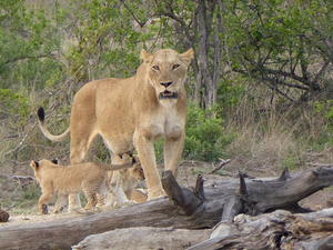 The Kruger Park Explorer Safari Fotos