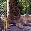 Lion Patna Zoo