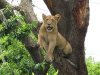 Lions At Queen Elizabeth National Park