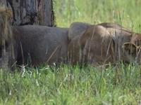 Lions Lake Manyara Park