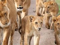 Lions In Maasai Mara Game Reserve