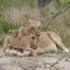 Lion ,South Africa