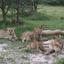 Lions Sitting Around