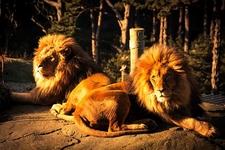 Lions @ Wellington Zoo NZ