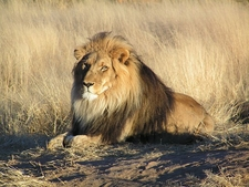 Lion Waiting In Etosha National Park