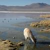 Llama With Landscape - Laguna Colorada In Bolivia