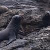 Sea Lions On Choros Island