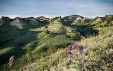 Locoweed Landscape - Badlands ND