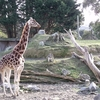 Lone Giraffe @ Wellington Zoo NZ