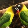 Love-birds @ Auckland Zoo