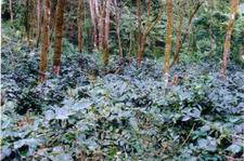 Lunglei-Coffee Plantation