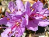 Arctic Rhododendron