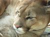 Cougar At The Dakota Zoo