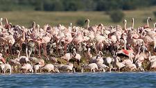 Lesser Flamingos On Kamfers Dam's