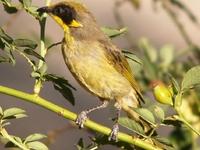 Murray-Sunset, Hattah and Annuello Important Bird Area
