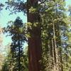 Lincoln Redwood Tree