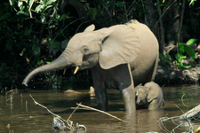 Elephants In The Mbeli River