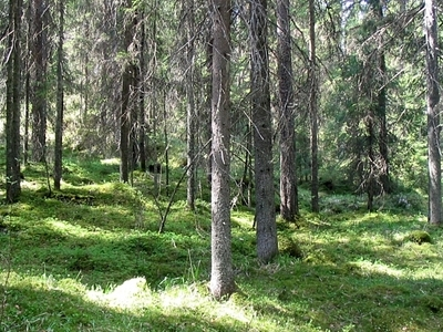 Lush Spruce Forest In The Liesjarvi National Park