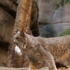 Lynx At Montreal Biodome