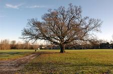 Majestic Oak In Cannon Hill Common Park