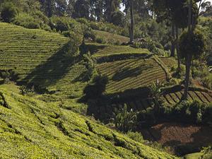 Malabar Coffee Plantation Tour - West Java Indonesia