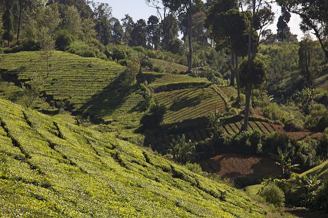 Malabar Coffee Plantation Tour - West Java Indonesia Photos