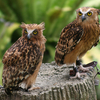 Malaysian Owls