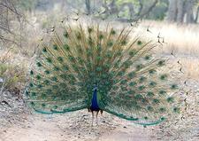 Male Peacock At Ranthambore NP