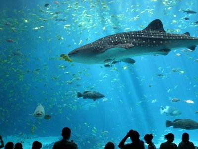 Whale Shark In The Viewing Theatre