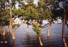 Mangrove Trees Near Don Nai