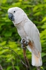 The Salmon-crested Cockatoo In The Park