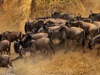 3 Days Masai Mara Wildebeest Migration