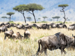 The Annual Migration At The Mara River In Masai Mara Kenya