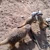 Meerkats At  Belfast  Zoo