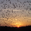 Mexican Free-Tailed Bats Emerging From The Natural Entrance