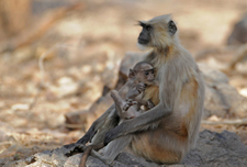 Monkey Mother & Child At Rajbagh Talao