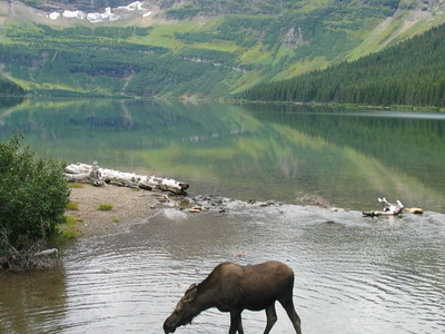 Moose At Cameron Lake