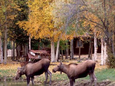 Moose Wade At Chena Hot Springs