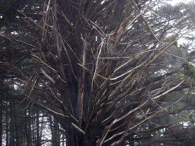 Ancient Cypress Trees Atop Coastal Bluff