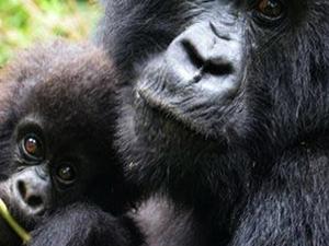 Gorilla Trekking Tour in Bwindi, Uganda Photos