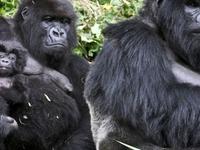Gorillas and Big 5 Safari