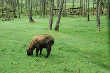 Mouling National Park - Takin
