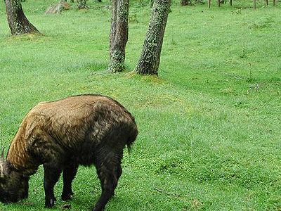 Mouling National Park - Takin
