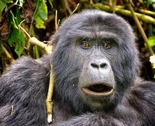 Mountain Gorilla - Bwindi UG