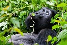 Mountain Gorilla @ Bwindi UG