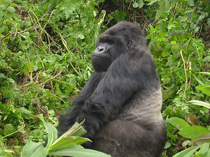 5 Days Gorilla Tour and Wildlife Safari Uganda Photos