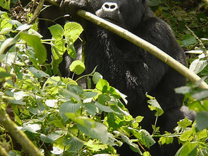 Savanna Wildlife and Mountain Gorillas Tour Fotos