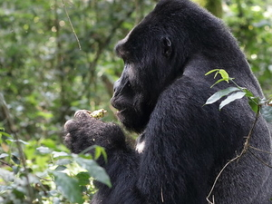 Gorilla Tracking Safari in Bwindi and Game Viewing Photos